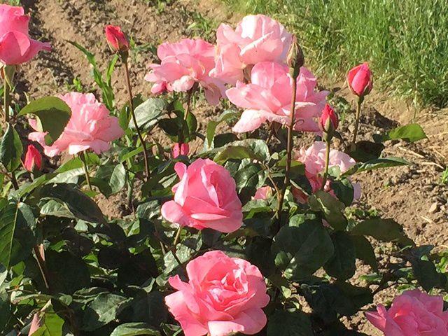 roses odorantes: il y en a partout
