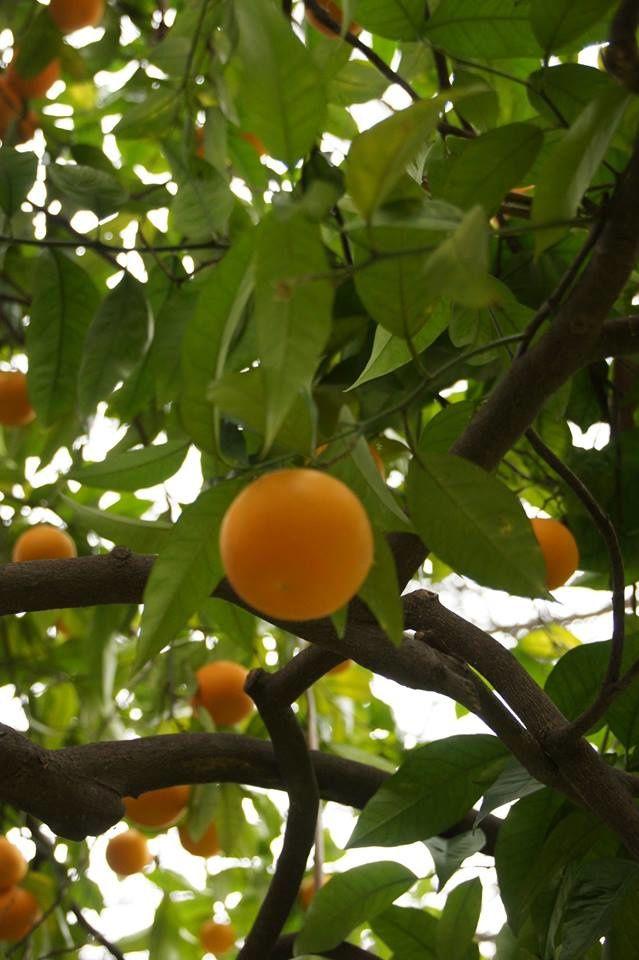 visite d'une citronneraie