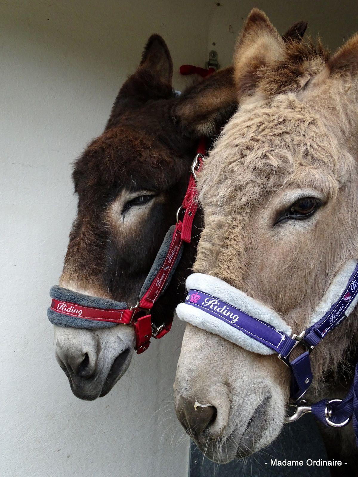 Les ânes de Min Guen