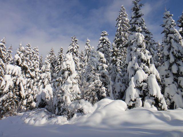 Belle quantité de neige qui métamorphose les sapins.