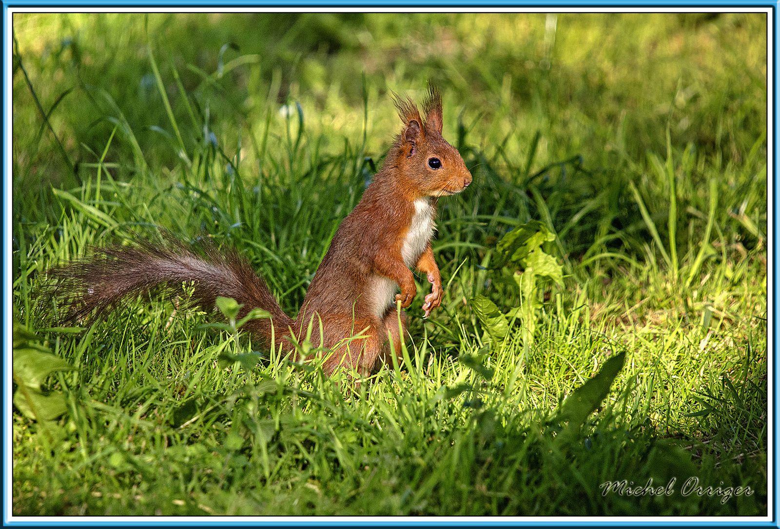 Des écureuils
