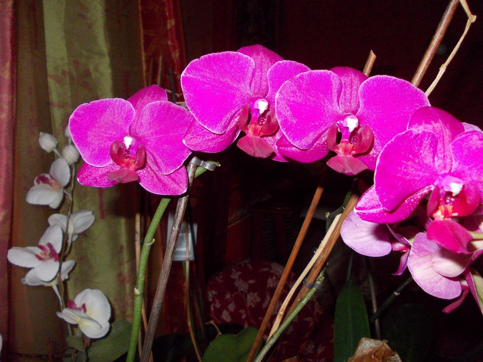 Orchidée offerte par mon amie Nadette en Août 2013, toujours fleurie depuis