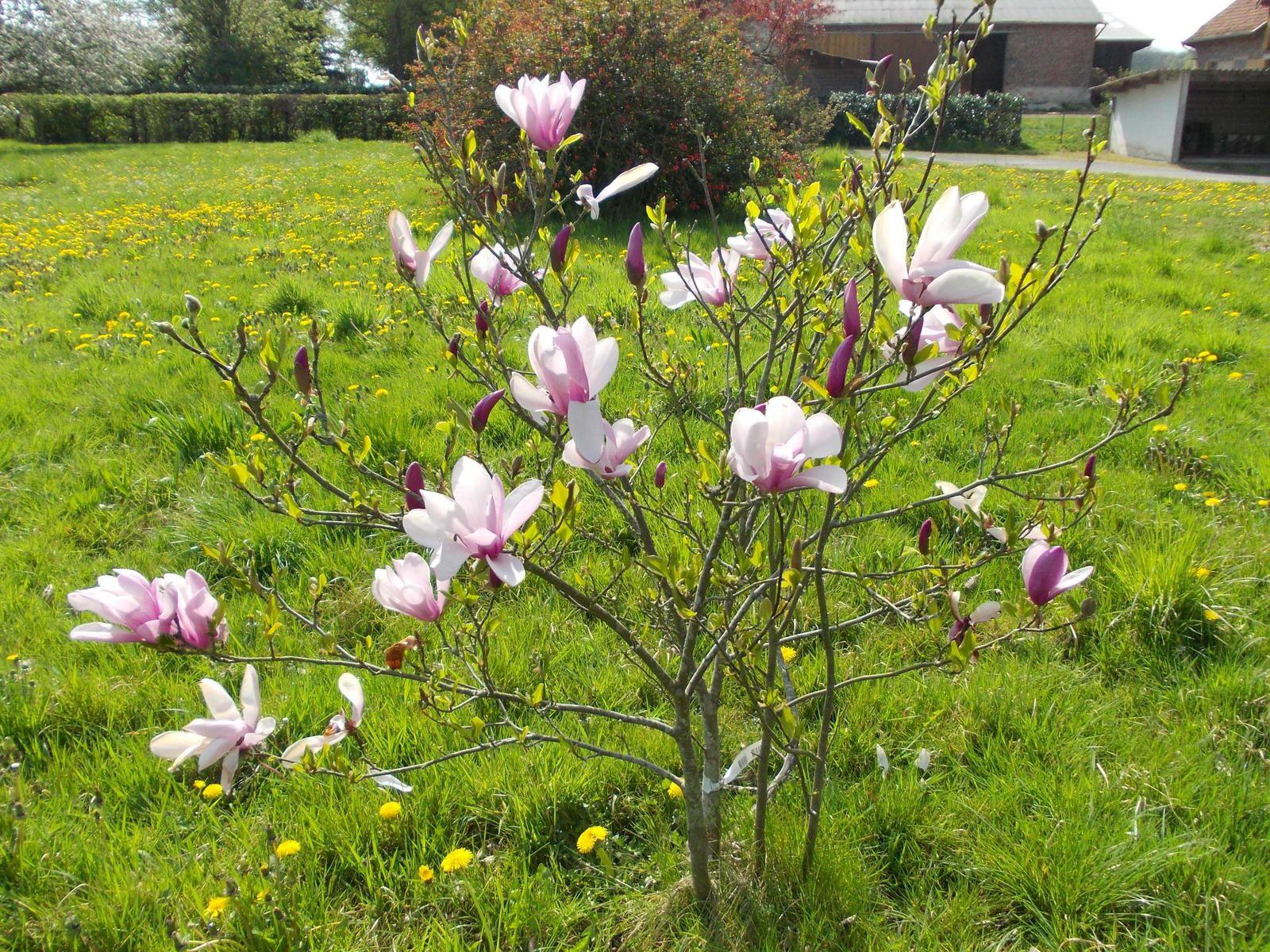 Mi avril :  magnolia et glycine