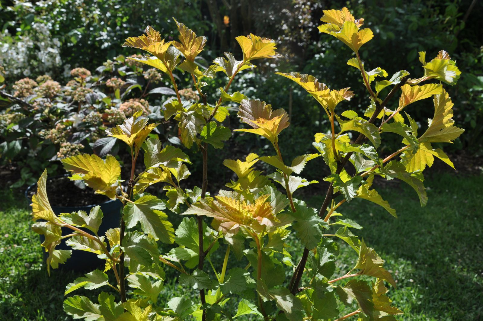 Physocarpus Amber Queen