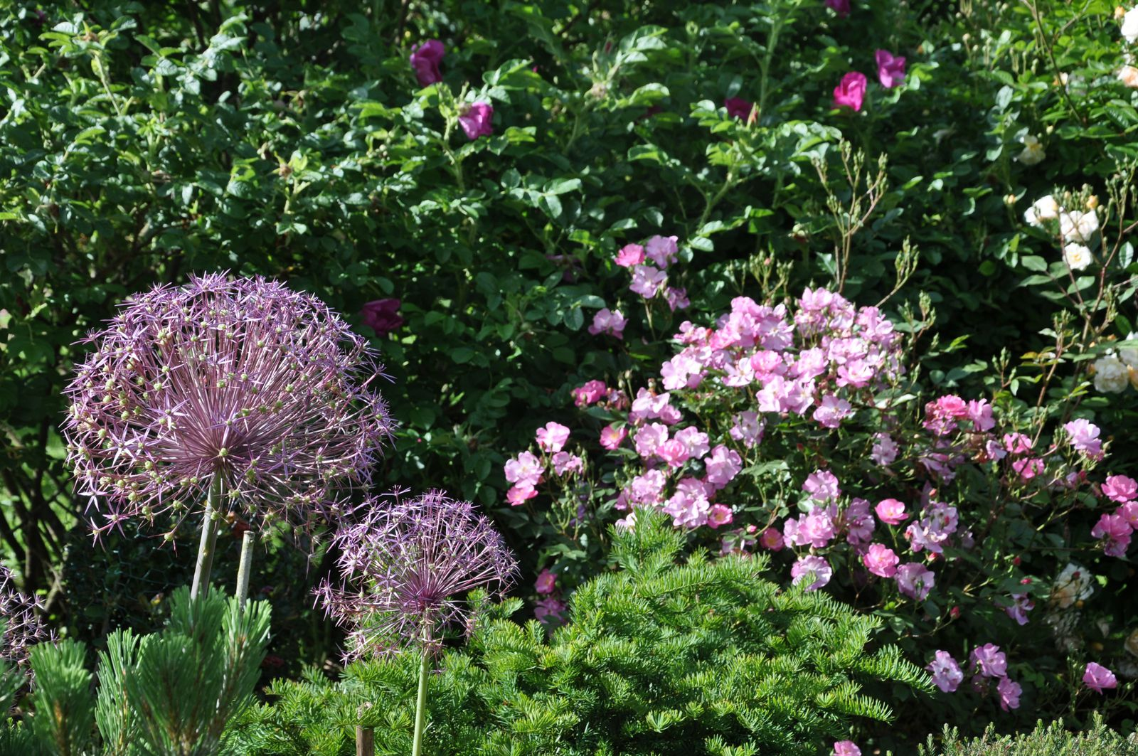 Aulx et rosier Lavender Dream