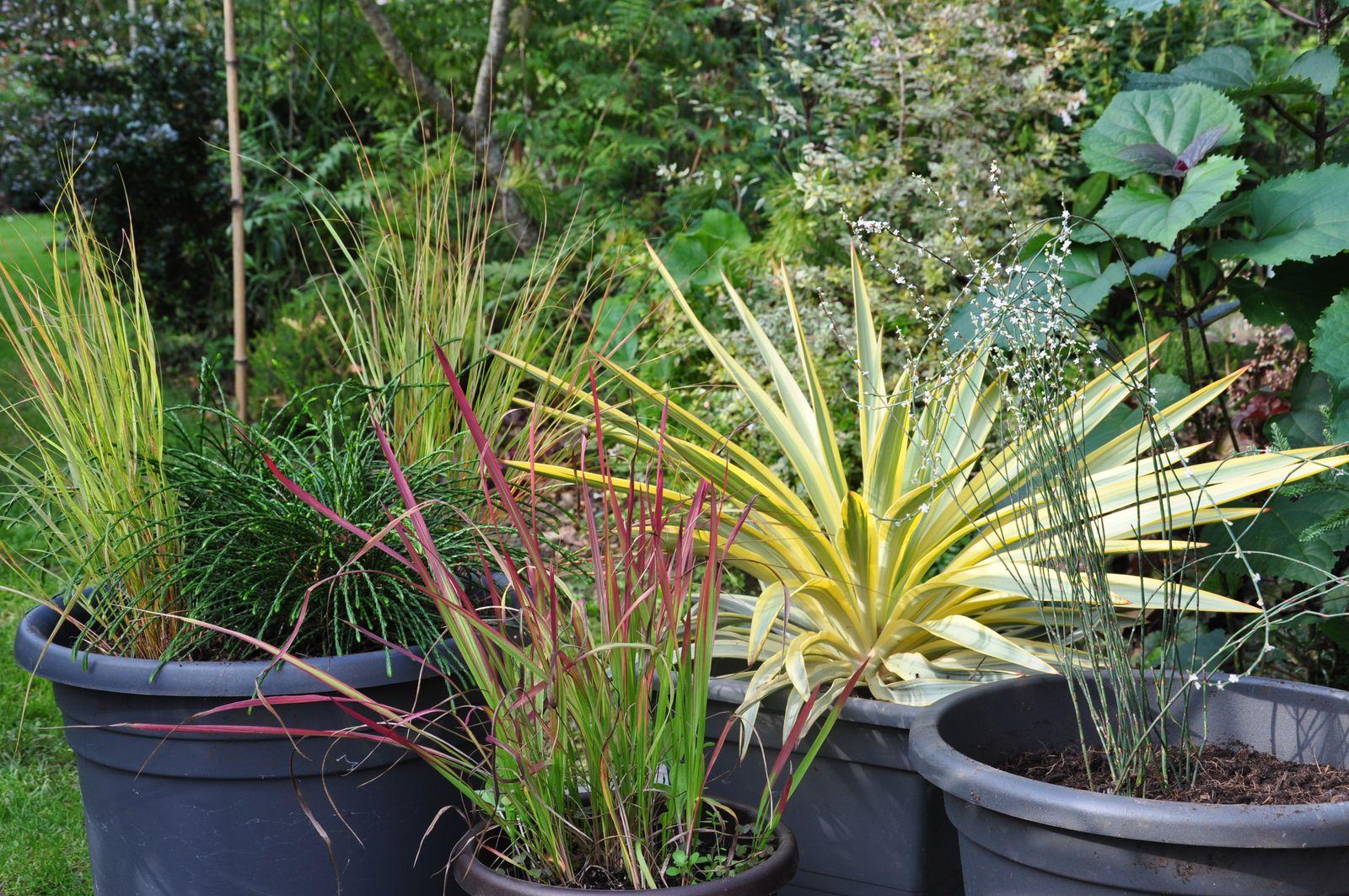 Yucca gloriosa Bright Star 'Walbristar avec un petit coup de coeur pour sa luminosité exceptionnelle