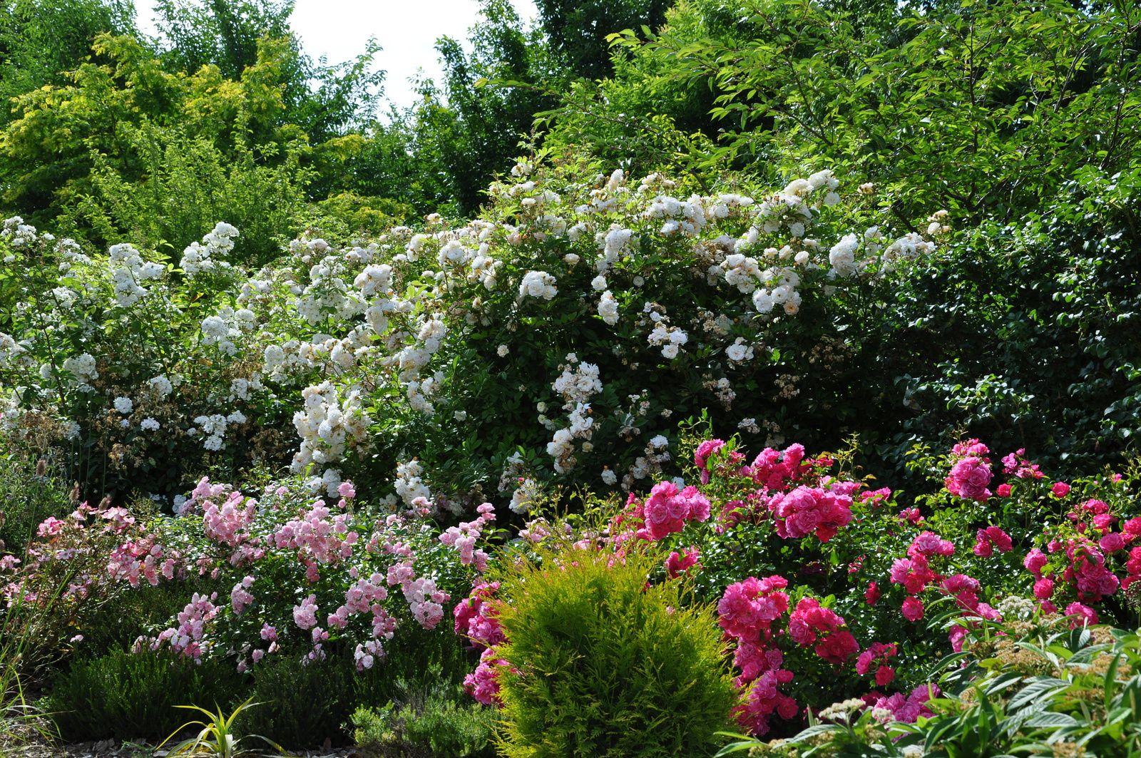 Rosiers paysages, paysages de roses