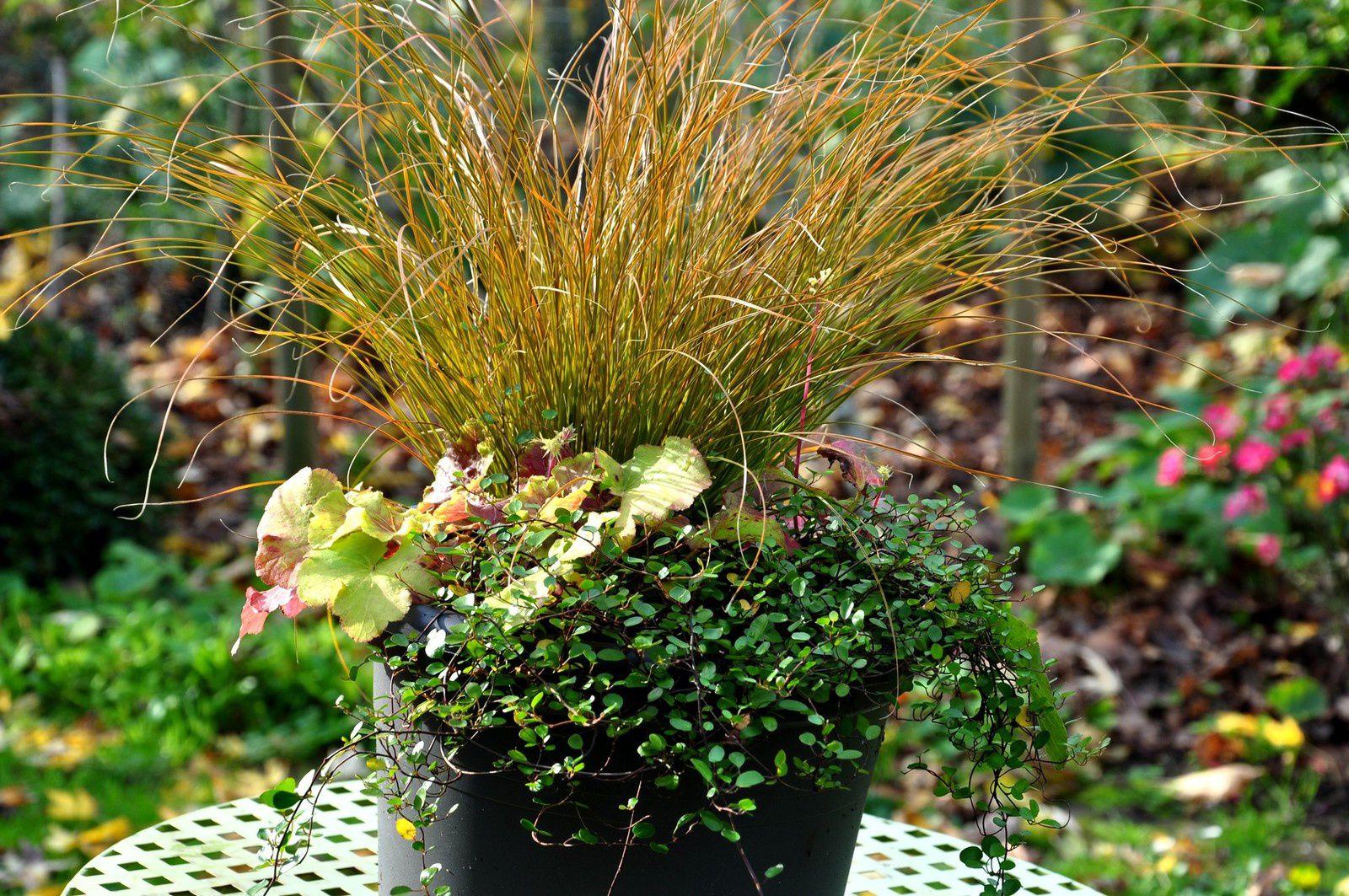 Carex Prairie Fire, heuchère Delta Dawn et muehlenbeckia, adorable tapissante.