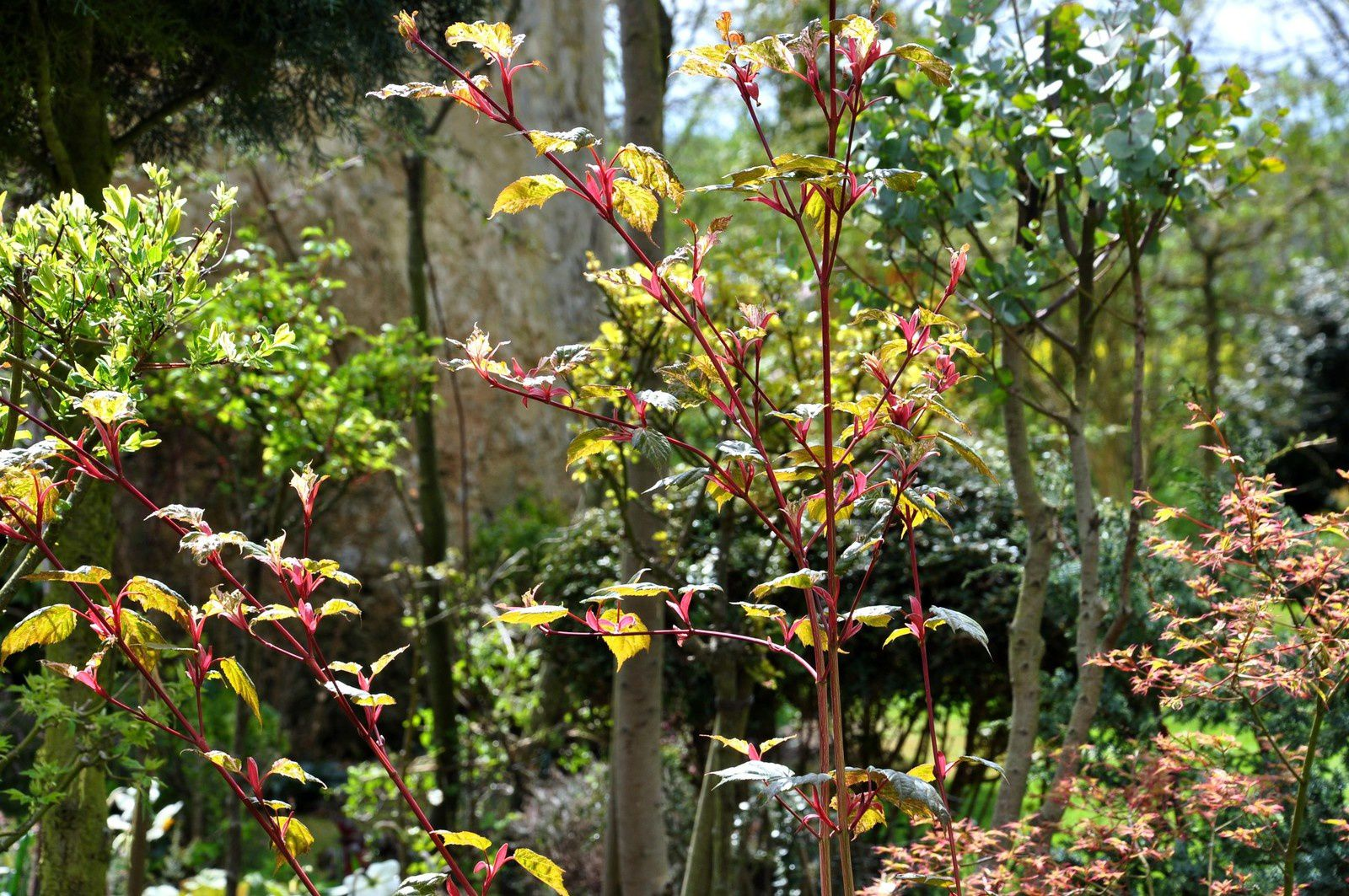 Acers en pot, l'alternative des glaiseux