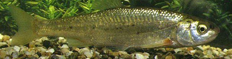 Liste rouge des poissons menacés  Ob_ca3f64_20-blageon-ou-suife