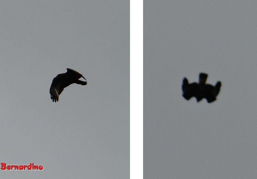 Clichés réalisés l'après-midi... malheureusement en contre-jour...  et sans le corbeau!