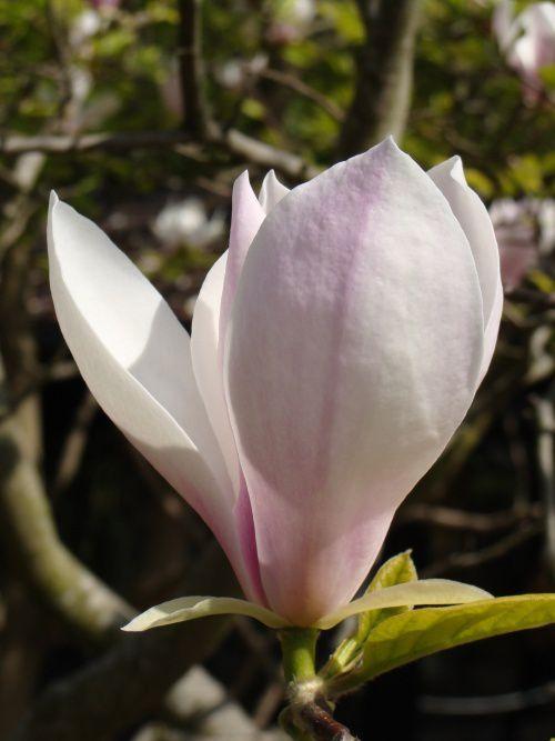 Le « faux tulipier » ou Magnolia soulangeana.