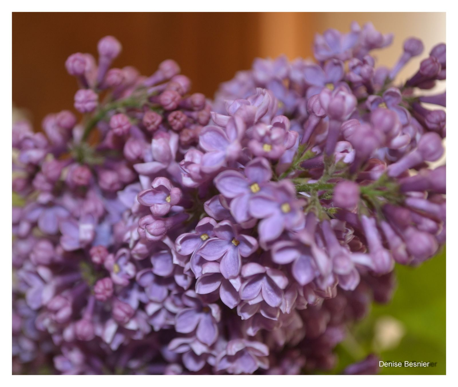 Quand les lilas refleuriront on respire dans les vosges - Quand tailler les lilas ...