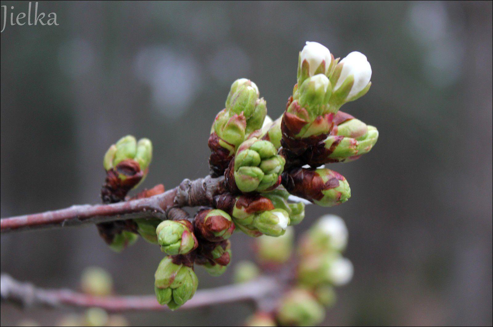 CÉRET (1ère fleurs pour nos cerisiers)