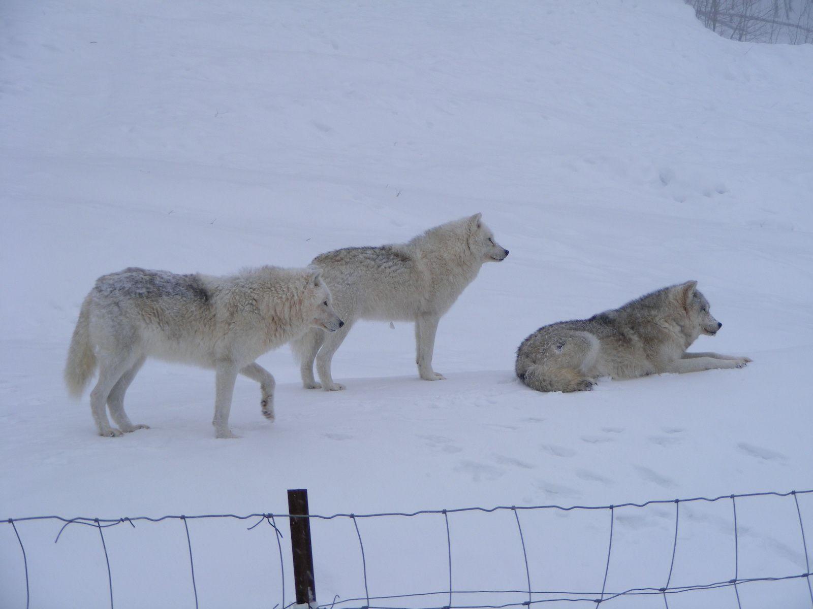 Loups arctiques, Parc Oméga
