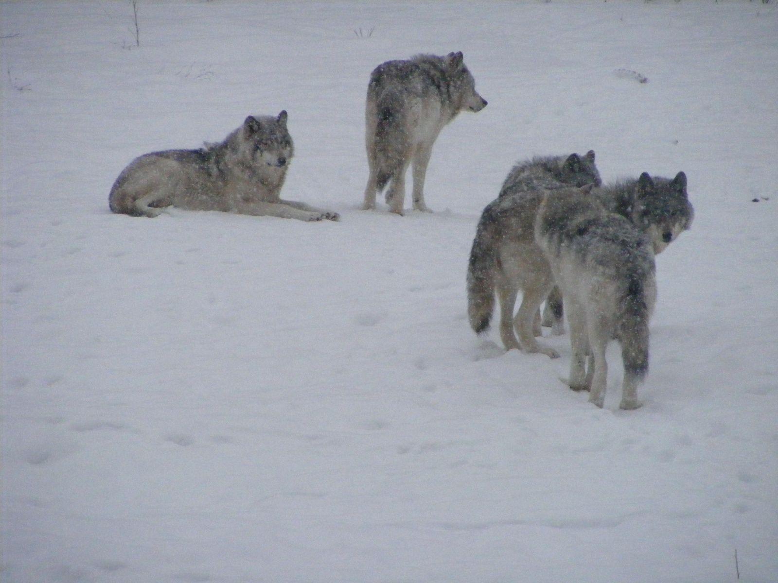 Loups gris, Parc Oméga