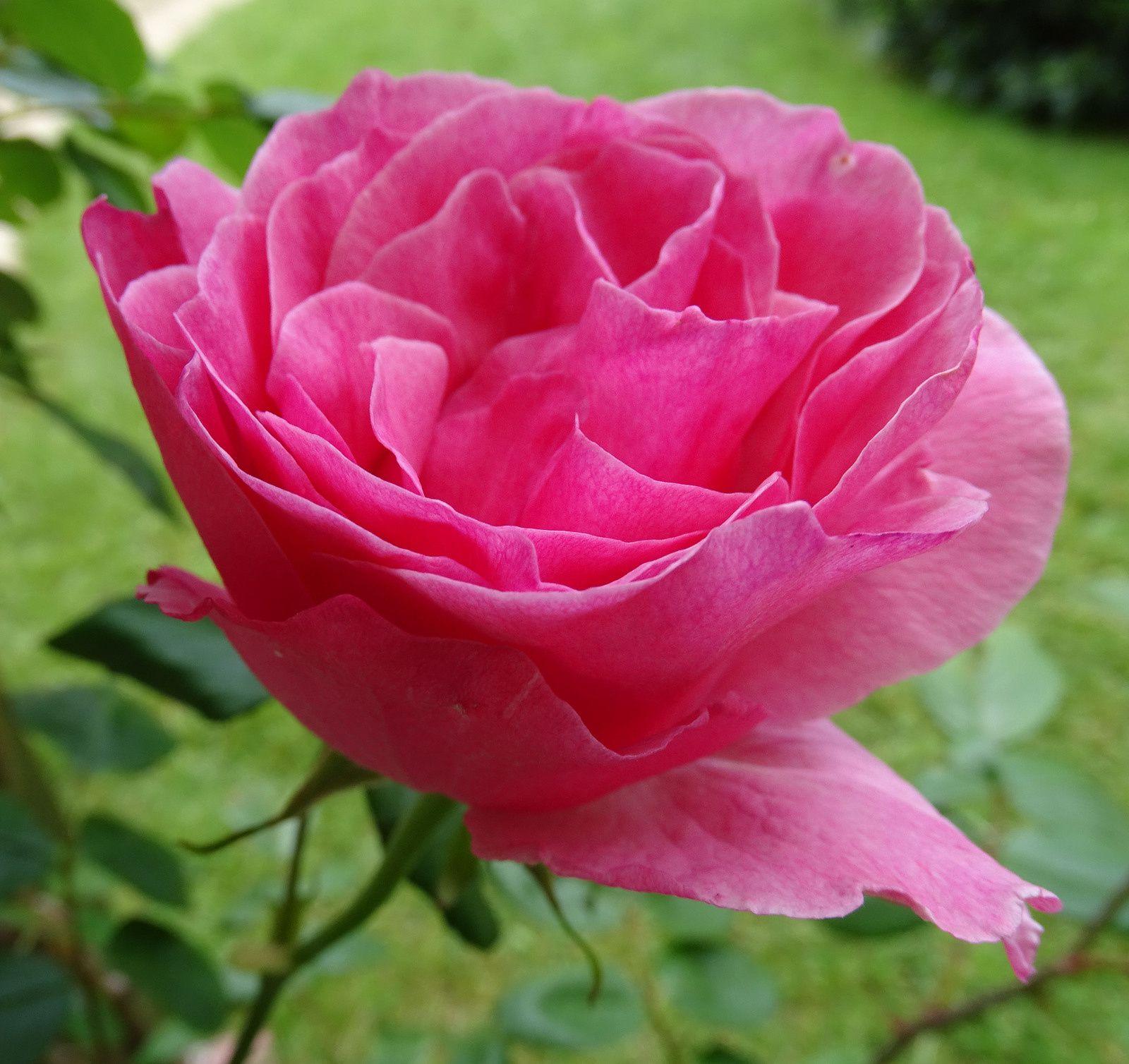 ciste rose - weigélia à feuilles pourpres - azalée - rose - pivoine - ancolie - géranium - pivoine et fin d'anémone - iris