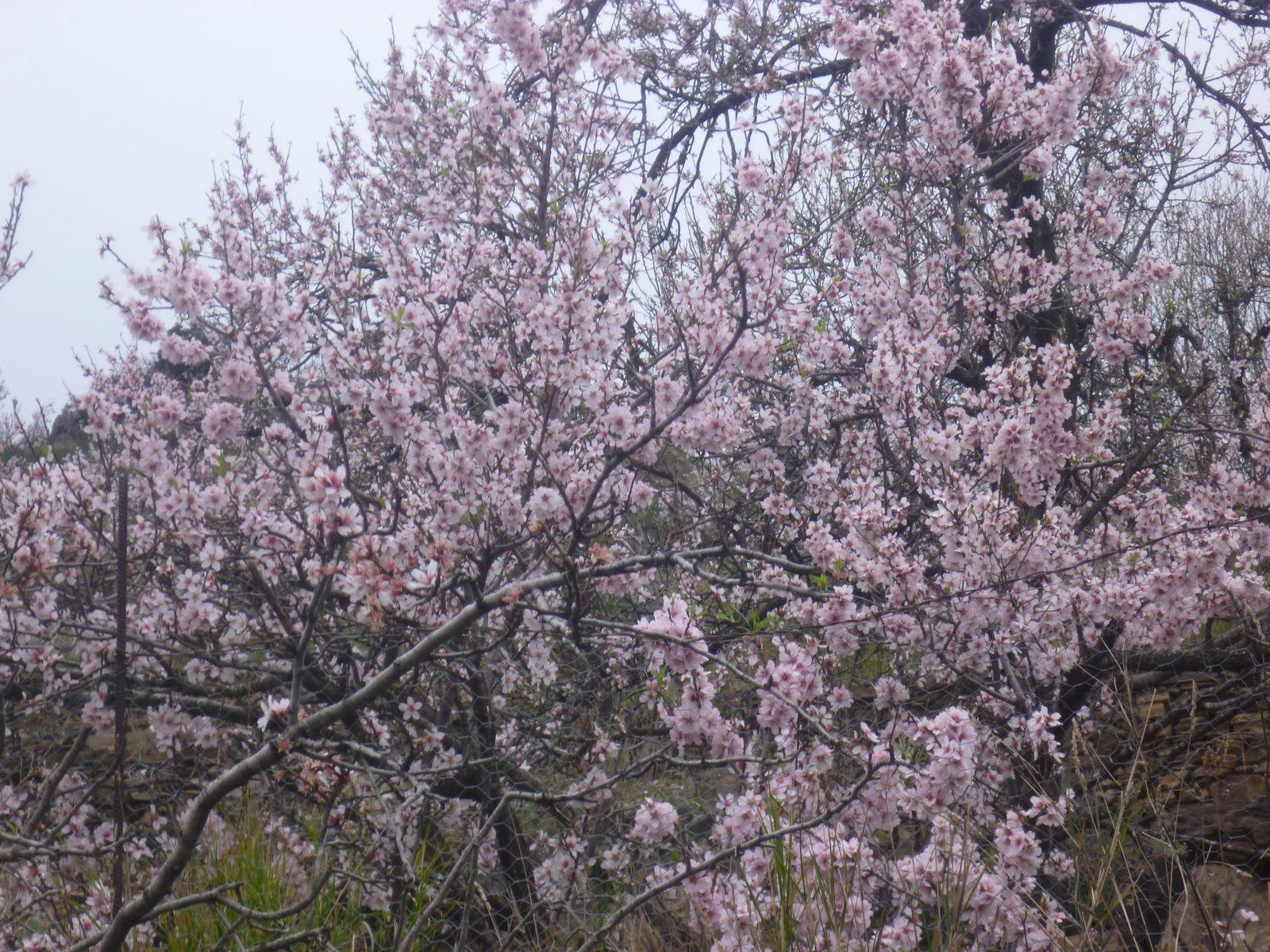 près de chez lui ...les amandiers en fleurs...