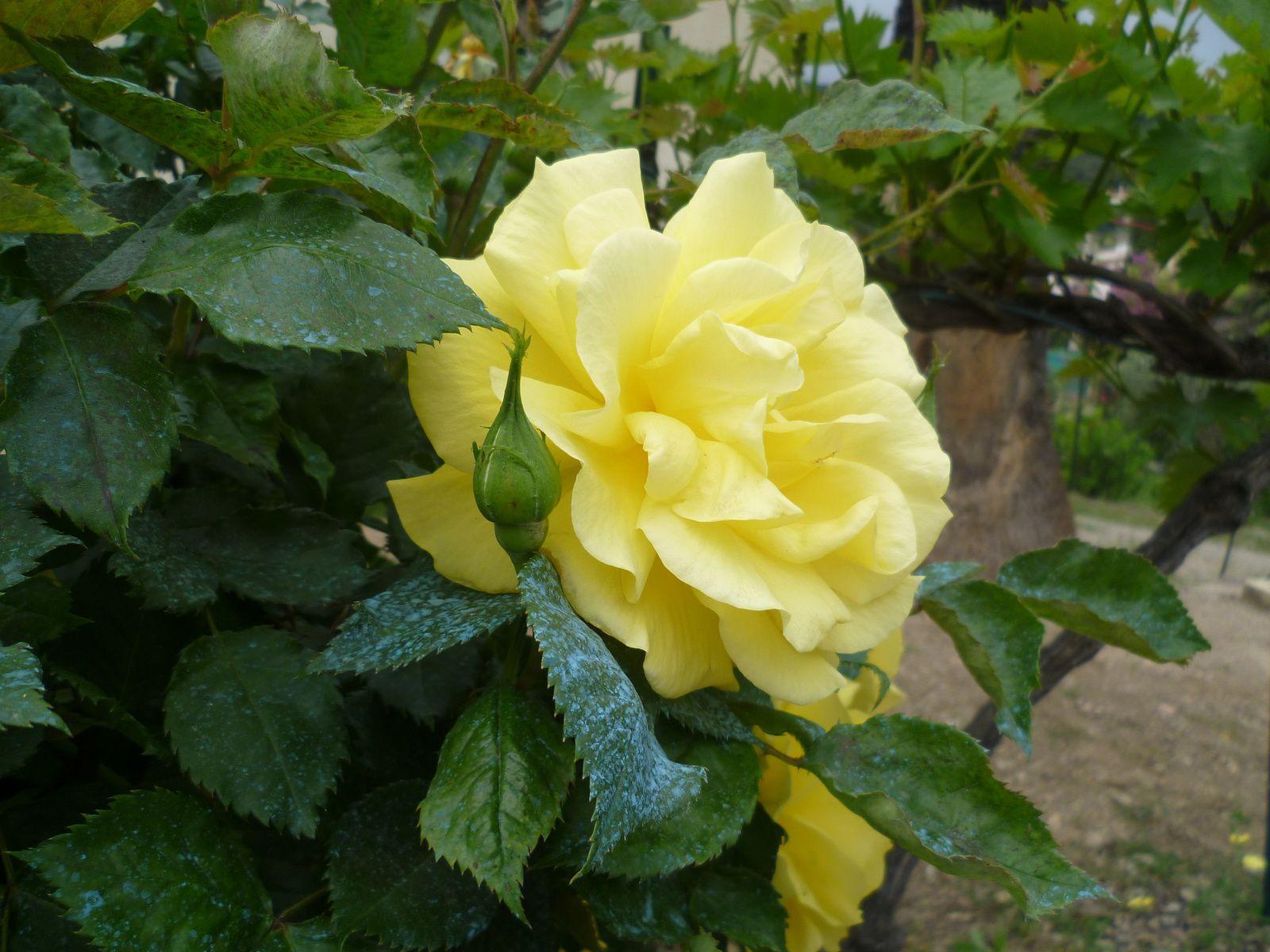 et la rose d'un jardin voisin.........bonne journée amitiés YVETTE