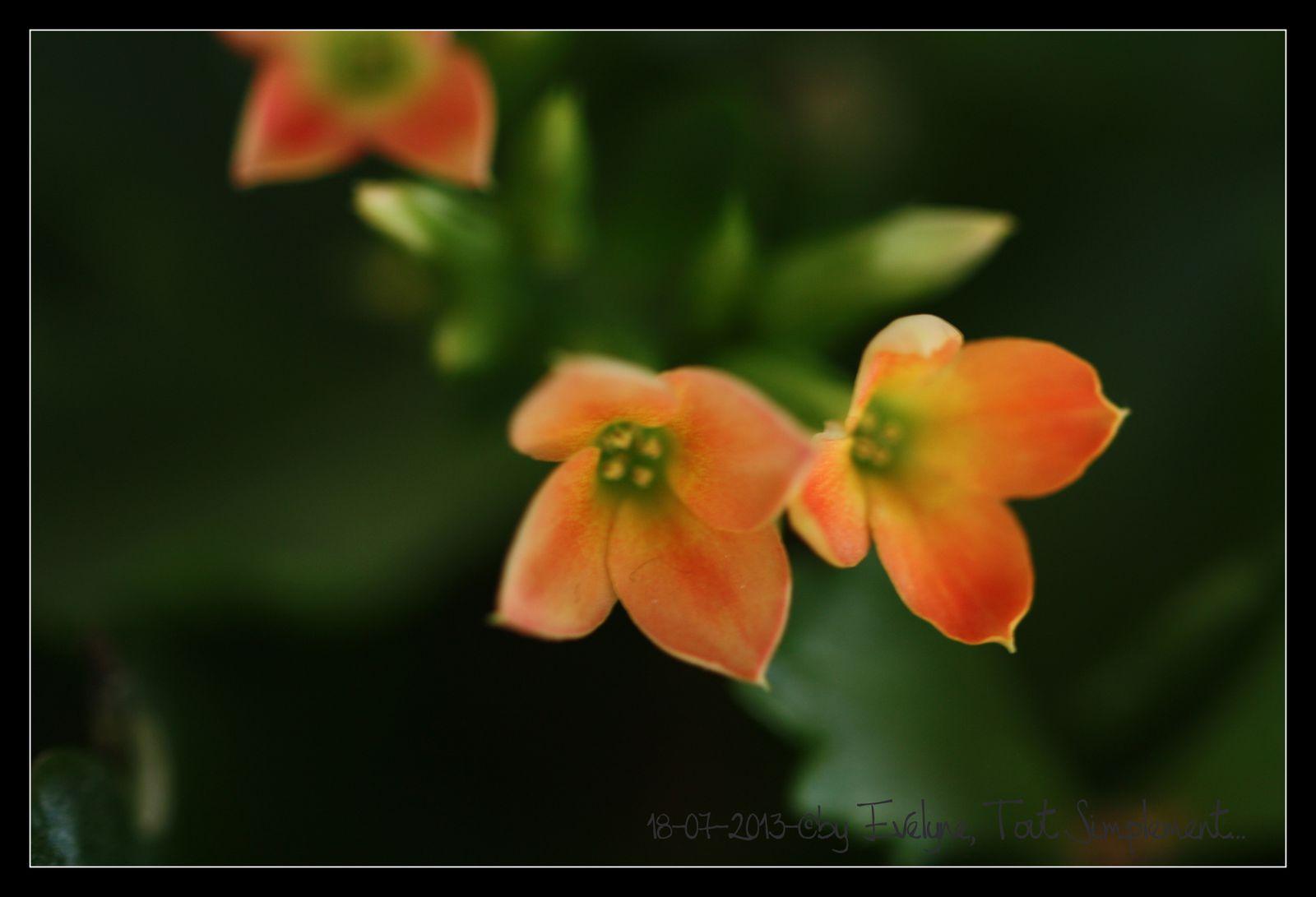 Les fleurs dans la maison : kalanchoe, phalaenopsis et anthurium..