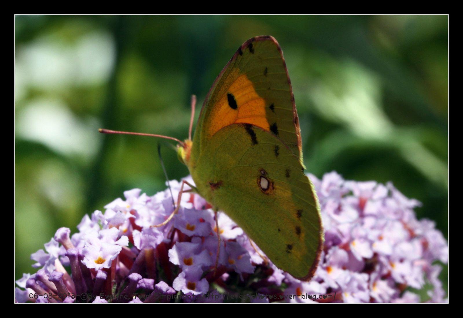Un Fluoré - que je n'ai pas pu approcher plus pour des photos plus nettes.. D'autres photos de papillons sur mon blog Wordpress