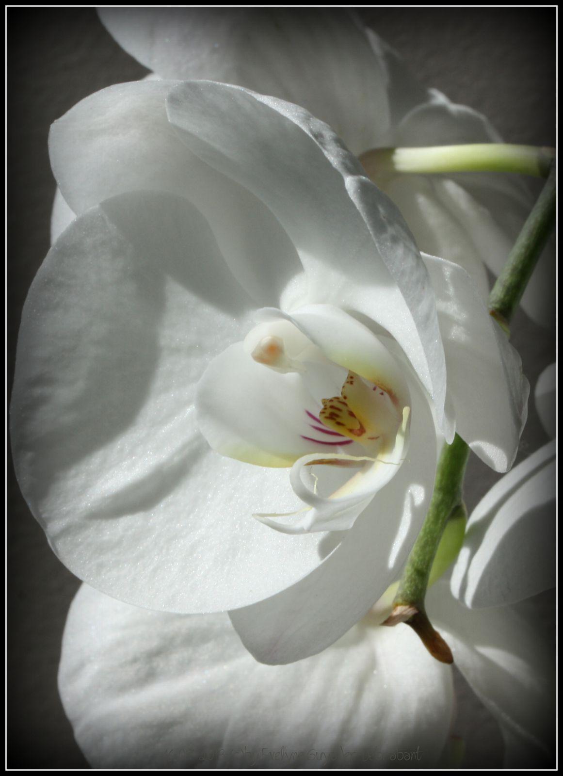 Mais là, ce n'est pas un Cattleya, mais un Phalaenopsis..