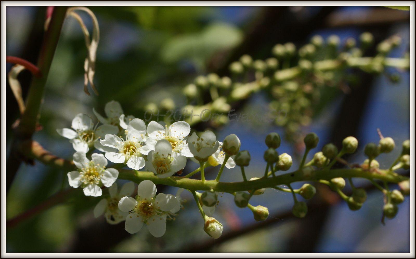 Le Cerisier à grappes