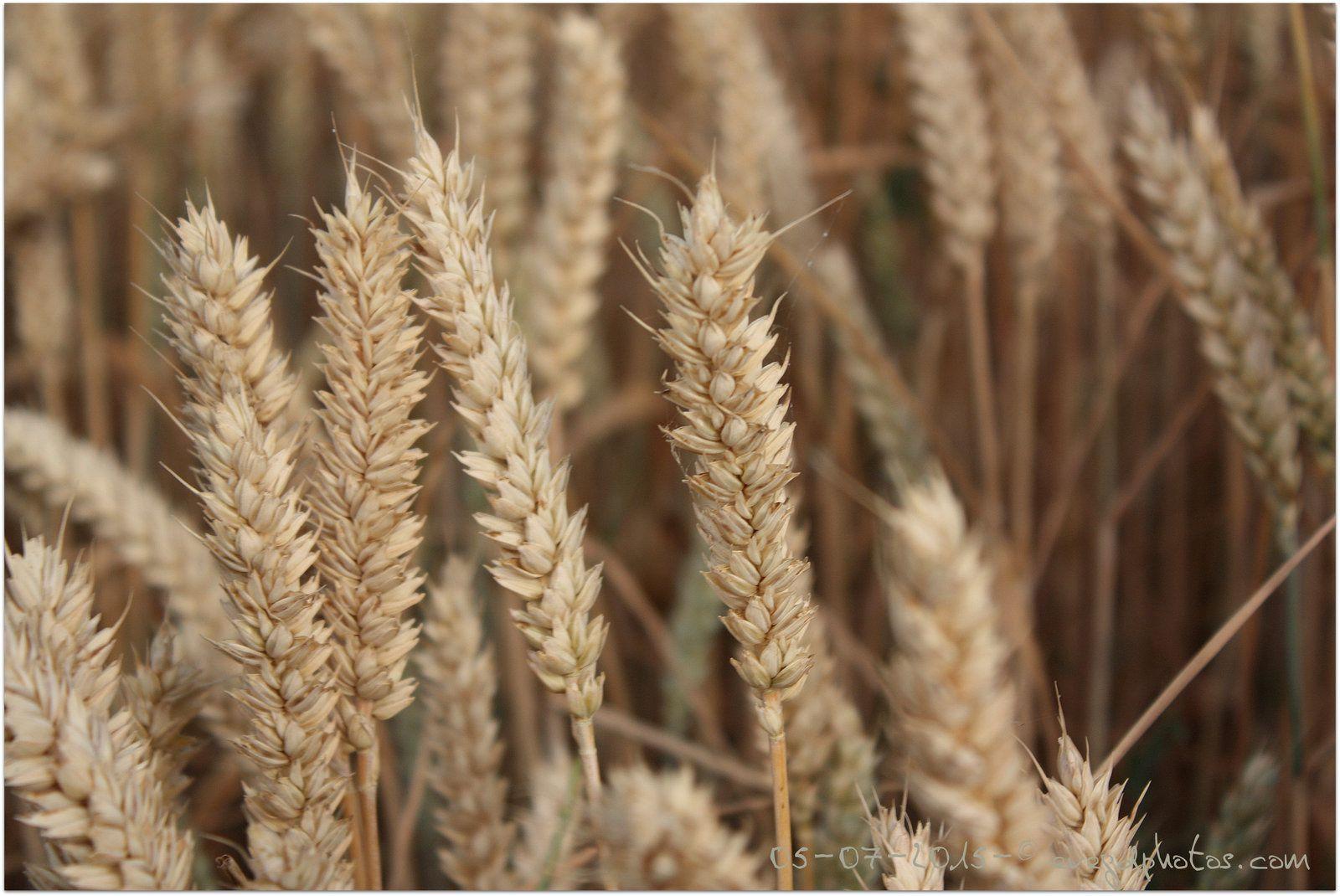 Promenons-nous dans les blés..