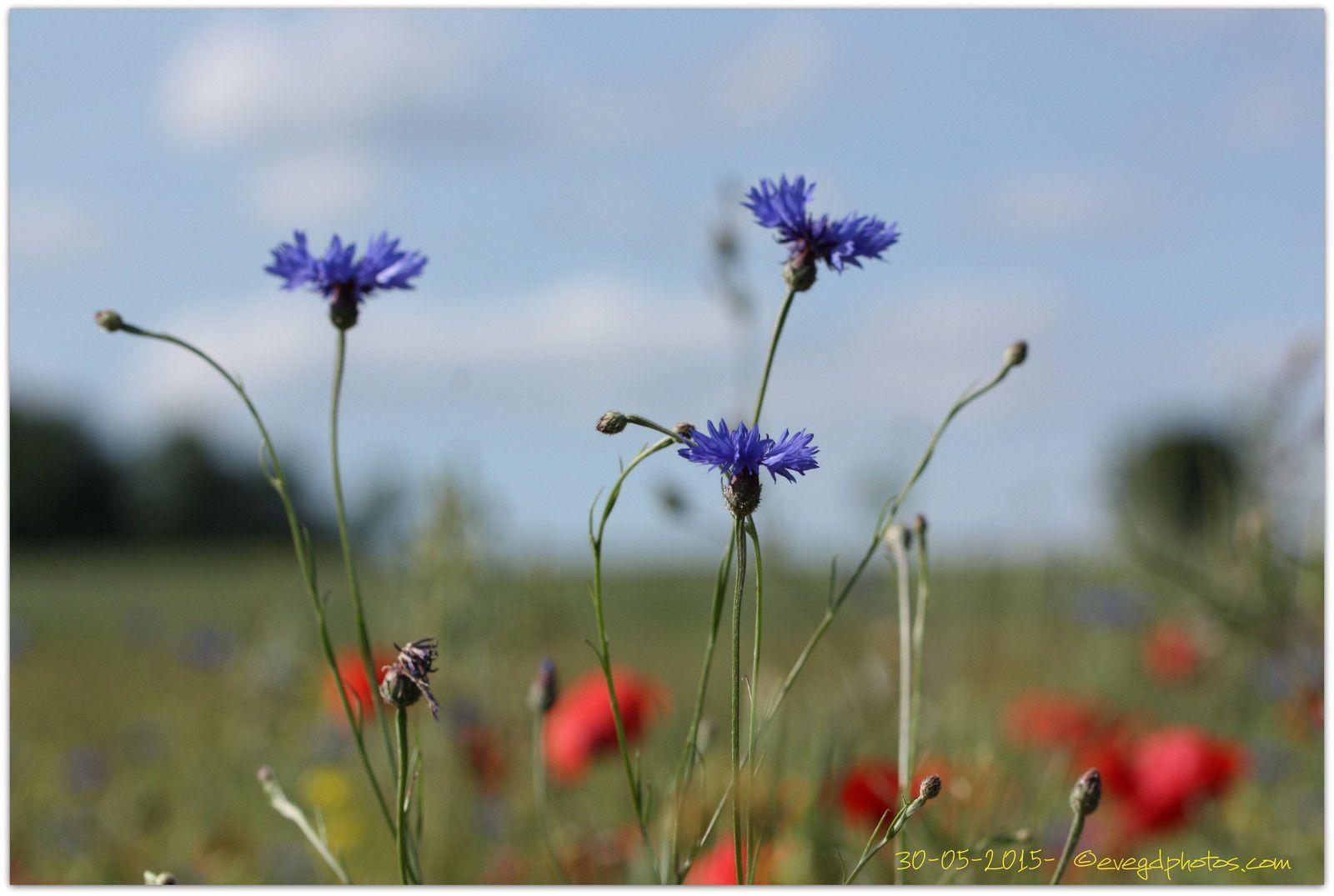Fleurs des champs... c'était fin mai... mais...