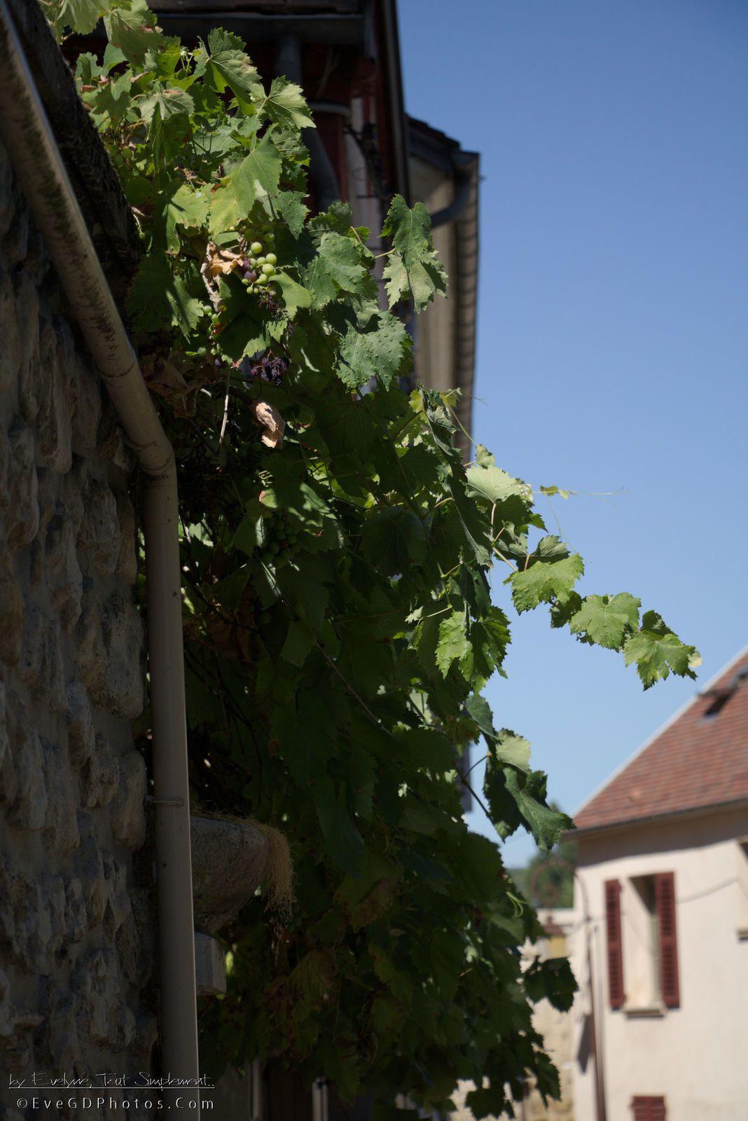 A Mantes, il y a aussi des vignes !