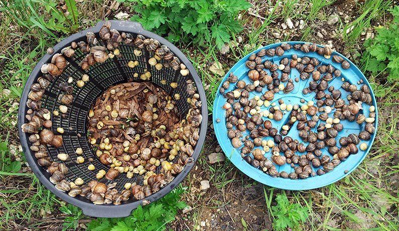 605 escargots récoltés en une nuit dans un jardinet de 150m2