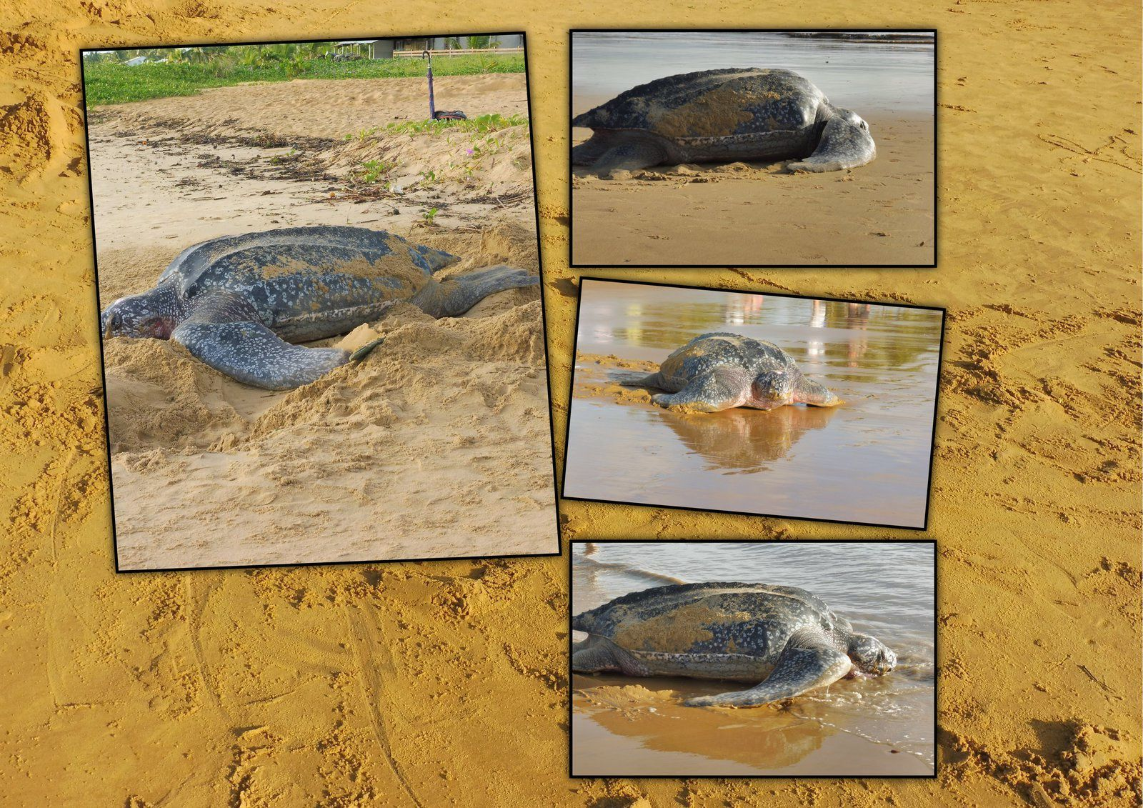 Les tortues luth