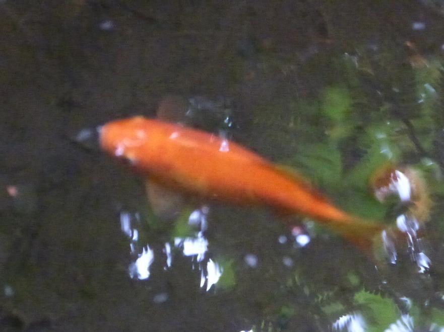Les poissons rouges de Denzilou.