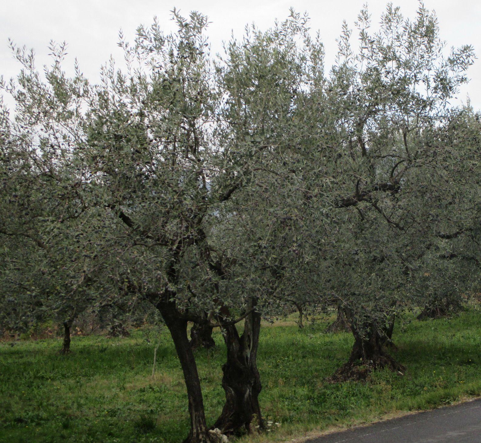 Sur Nyons de beaux oliviers