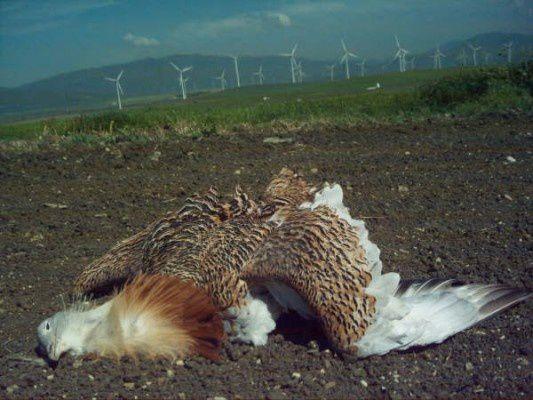 quand il s'agit de montrer les dommages causés par les éoliennes à l'avifaune, ces journaux bien-pensants, dans le droit fil de l'écologie politique, se taisent avec obstination.