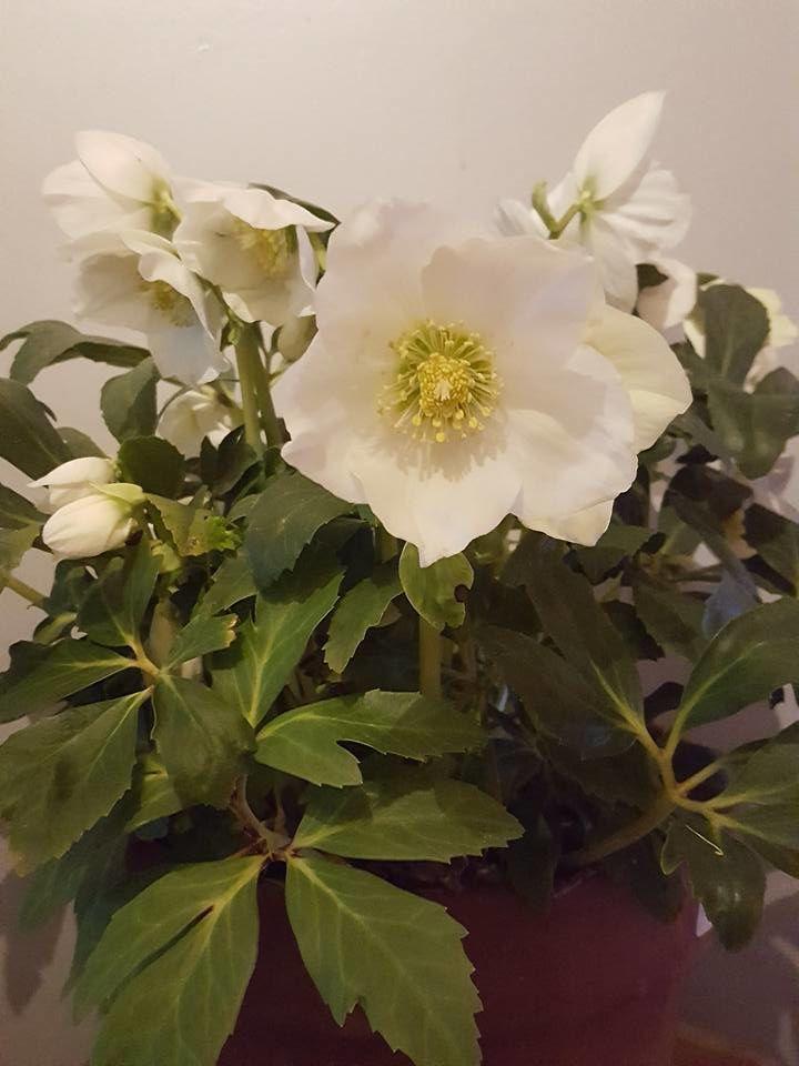 Sandrine nous offre cette rose des neiges issue de ses cultures, pour une bonne journée