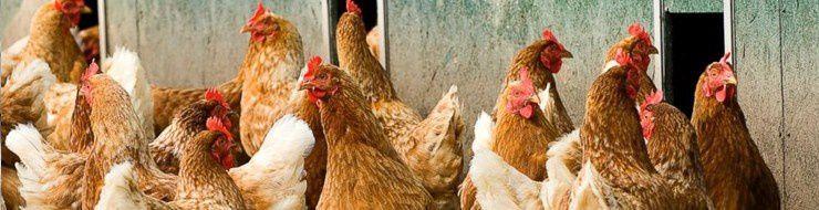 Grippe aviaire et les salariés ?