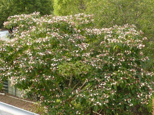 Clérodendron trichotomum   au parfum très prononcé