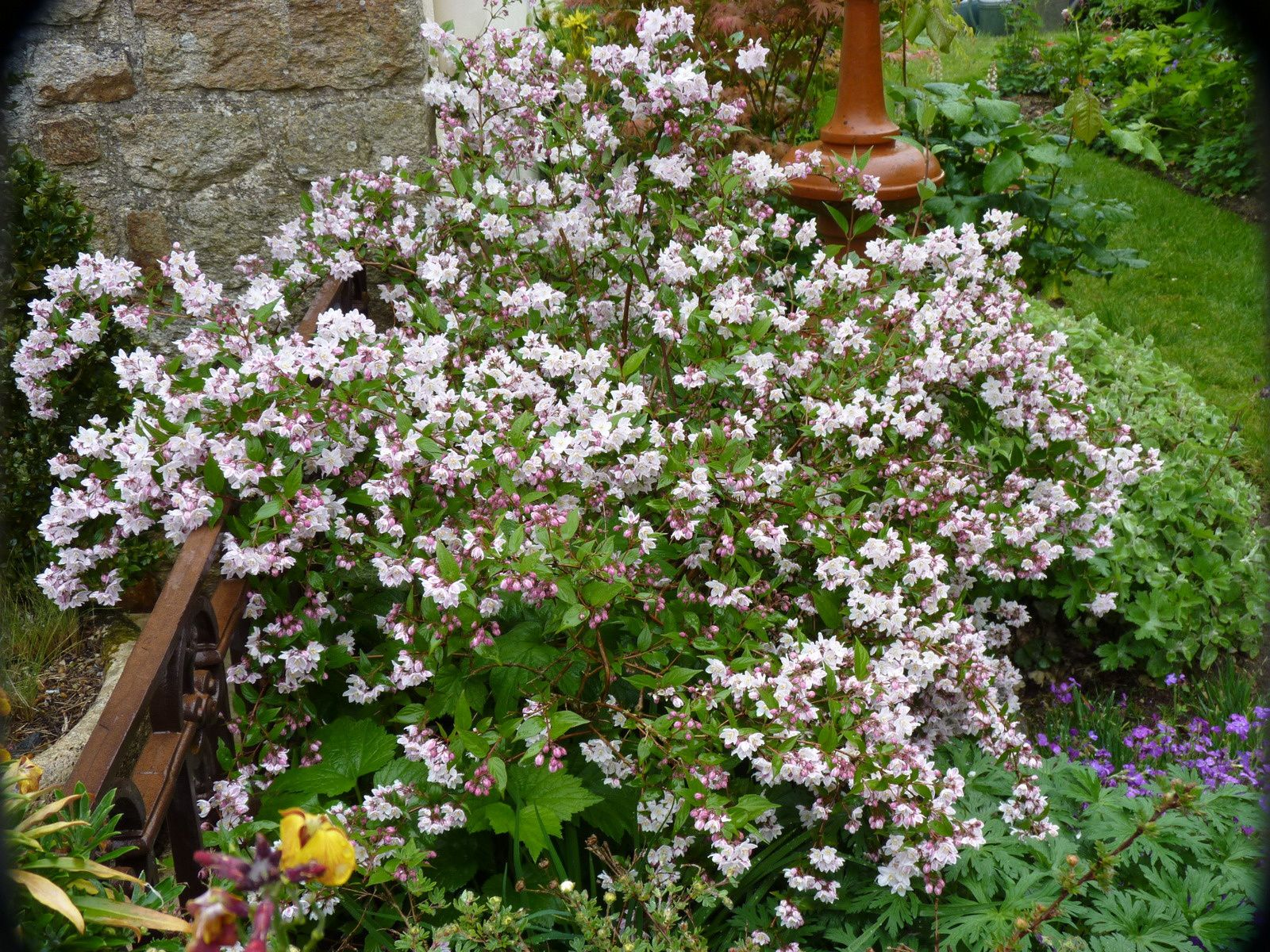DEUTZIA longifolia veitchii     et Gracilis