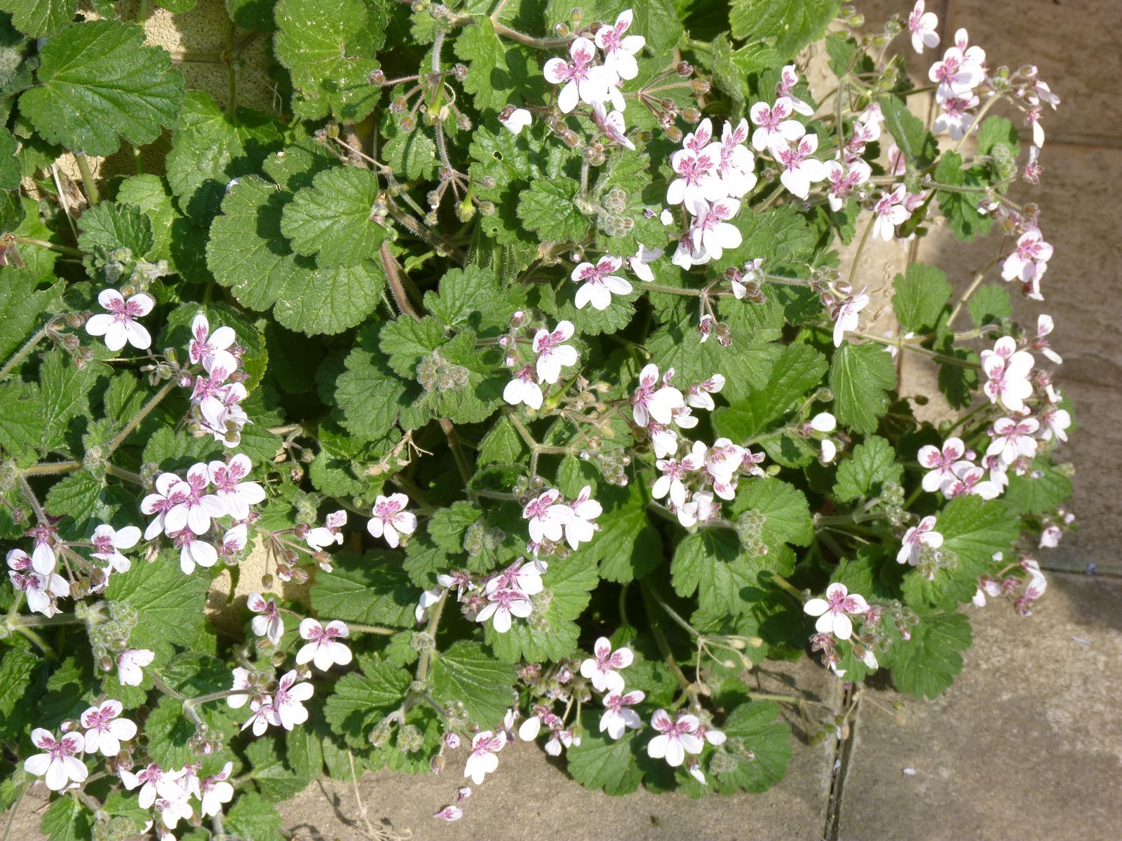 Erodium pelargoniflorum