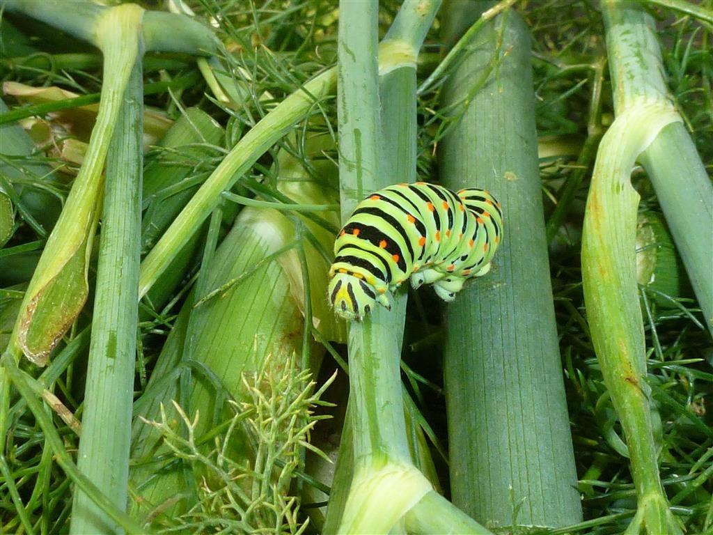 toutes les chenilles deviennent elles papillons tracteur agricole. Black Bedroom Furniture Sets. Home Design Ideas