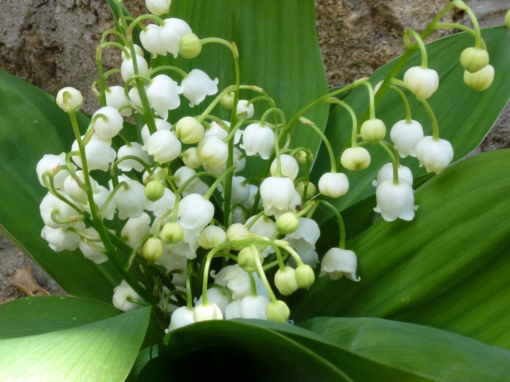 un bouquet de muguet pour la photo du dimanche photodimanche2 pour moi dans la bulle de manou. Black Bedroom Furniture Sets. Home Design Ideas