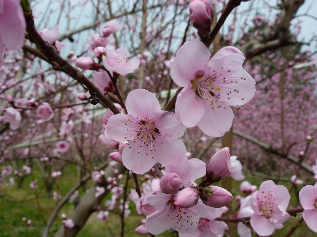 quelques fleurs de p chers pour illuminer le mois de mai en rose lundisoleil 19 dans la. Black Bedroom Furniture Sets. Home Design Ideas