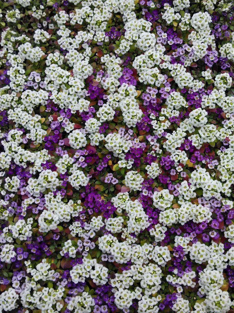 Jeunes plants d'Alyssum maritimum de toutes les couleurs