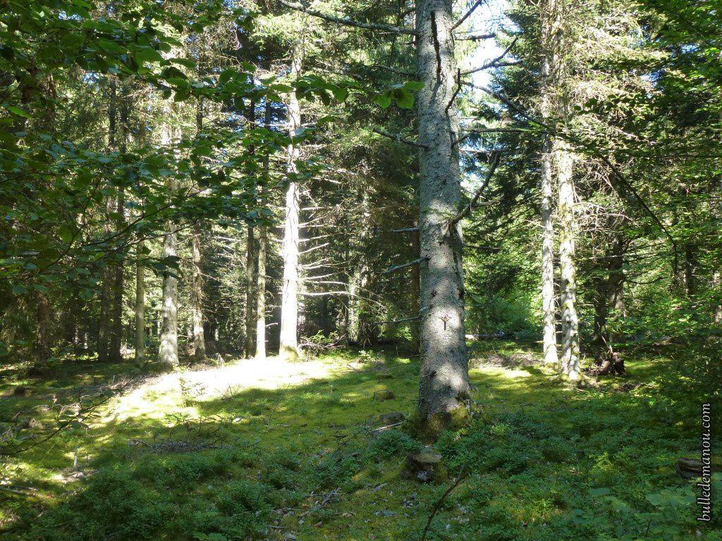 Les myrtilles dans la forêt
