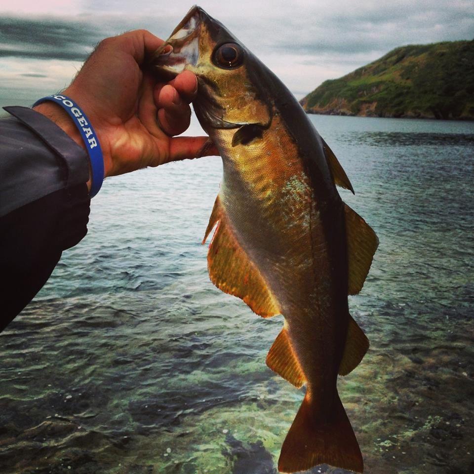 Lieu jaune le blog de rockfishing game - Comment cuisiner le lieu jaune ...