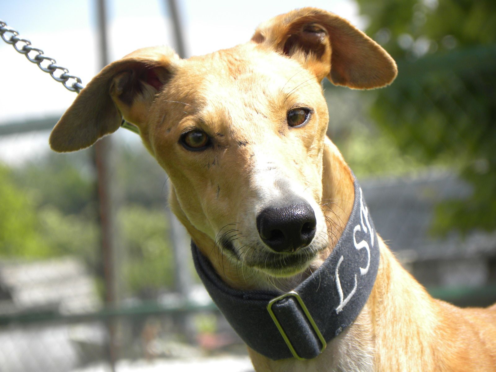 GALGOS LSF A ADOPTER DANS LE SUD/JUIN 2014