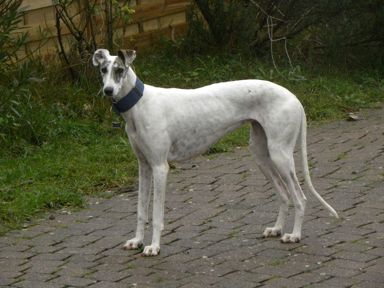 GALGO LSF A ADOPTER DANS LE SUD/FEVRIER