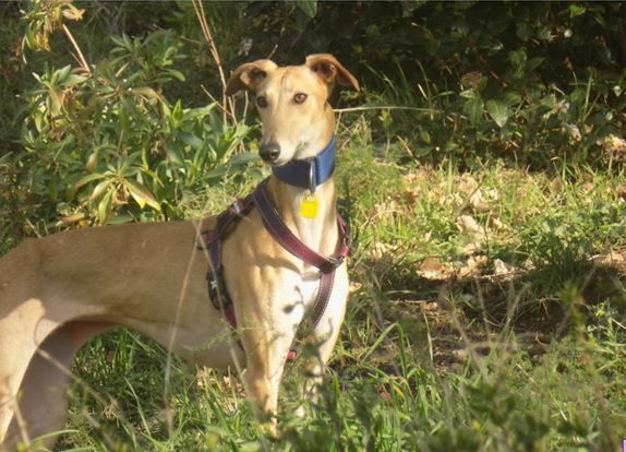 GALGO LSF A ADOPTER DANS LE SUD/MARS