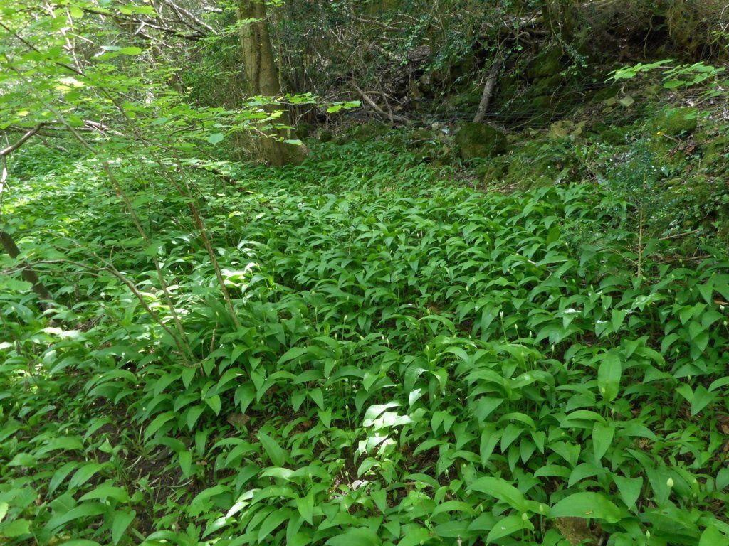 Récolte d'ail des ours et autres plantes sauvages